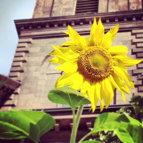 Sunflower in front of Arlington Street Church